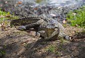 stock photo of crocodiles  - Crocodile in crocodiles farm in Guama - JPG
