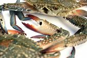 image of blue crab  - closeup of blue crab isolated on white background  - JPG