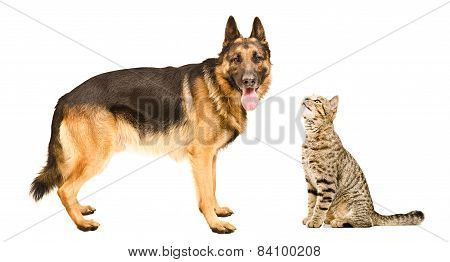 Dog breed German Shepherd  and curious cat Scottish Straight