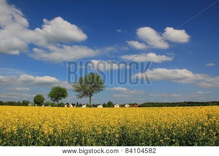 Rapeseed Field In Rural Landscape