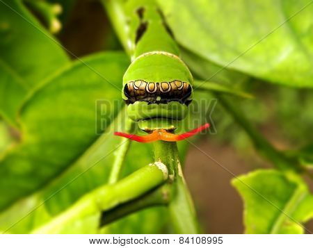 Citrus Caterpillar 2
