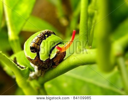 Citrus Swallowtail butterfly caterpillar 2