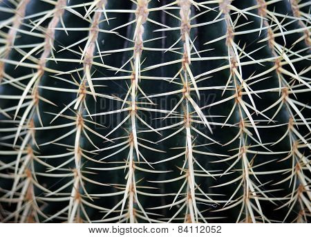 Huge Cactus Called Golden Barrel Cactus