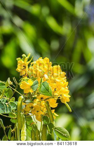 Senna Siamea Flower