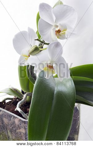 Isolated young orchid