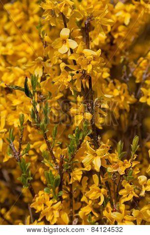 Yellow Flowers. Beautiful Forsythia Bloom in Springtime