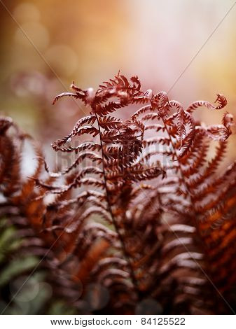 Dried-up Fern