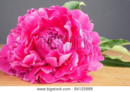Big beautiful pink peony