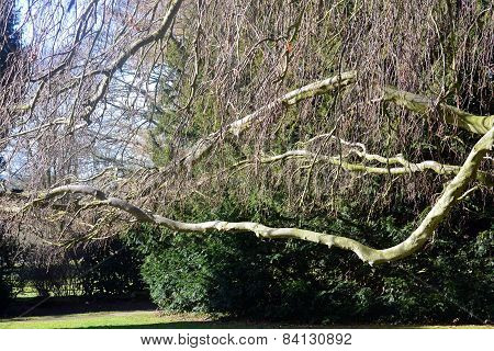 Horizontal branches on a willow tree