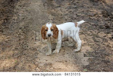 lonely pathetic sad puppy of spaniel