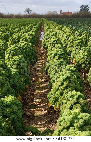Furrows of Curly Kale