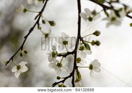White flowers blossoming on a tree on an aged photo.