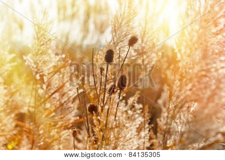 Dry thistle illuminated by sun rays