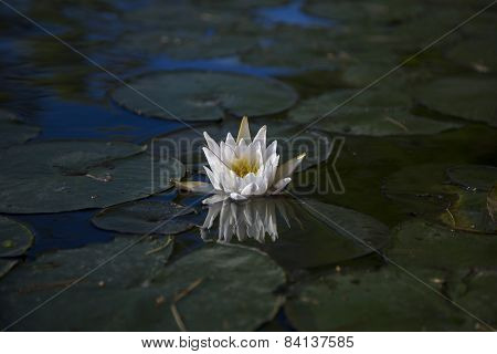 White Water Lily Reflected In Water