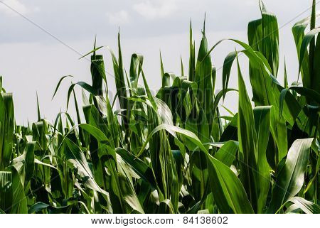 Close-up Of Corn Leaves On White Sky