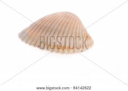 Sea Cockleshell Lies On White