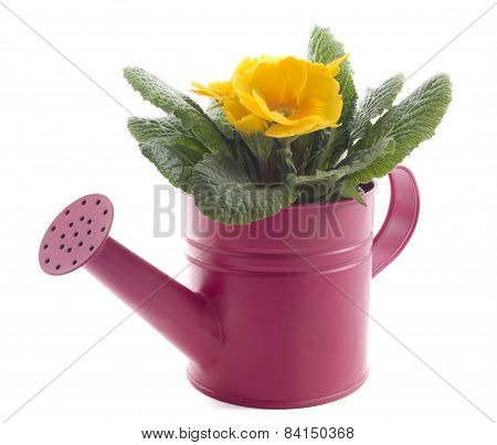 Yellow Primrose In A Pink Metal Watering Can