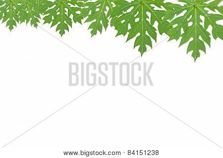 Papaya leaf on a white background