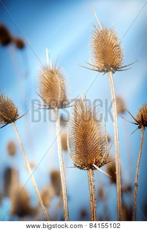 Thistle - burdock - velcro lit by sunlight