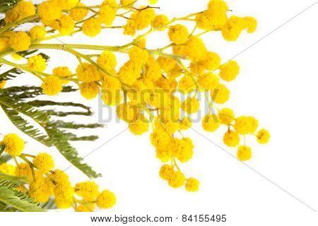 blossoming yellow mimosa