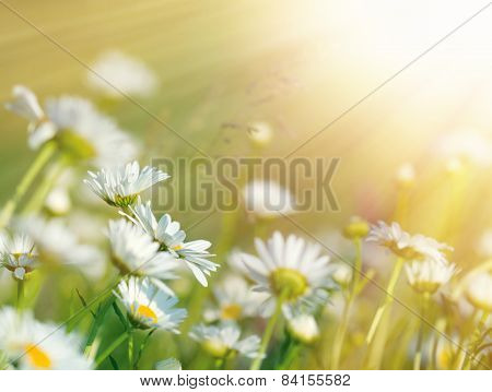 Beautiful daisy flowers bathed in sunlight