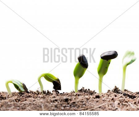 Seed Root On Soil With Sunbeam Begining Concept