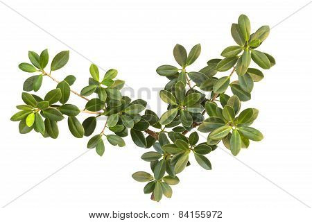 Green Tree Bush Isolated On White