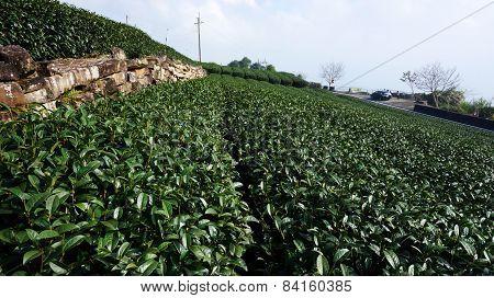Tea Plantation On Highland