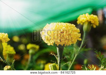 Marigold Flowers Yellow