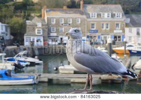 Seagull At Padstow  Cornwall