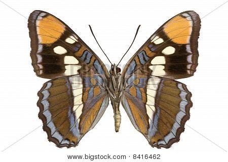 Limenitis Bredowii