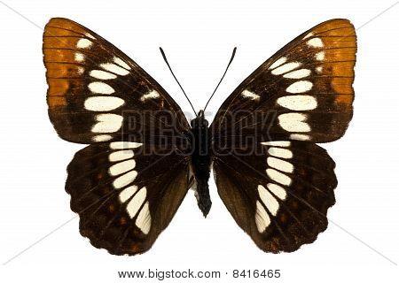 Limenitis Lorquini