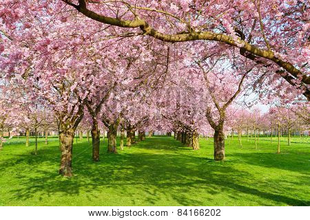 Scenic Park With Blossoming Trees
