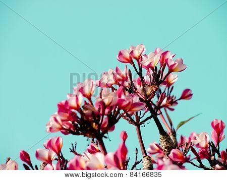 Beautiful Pink Plumeria