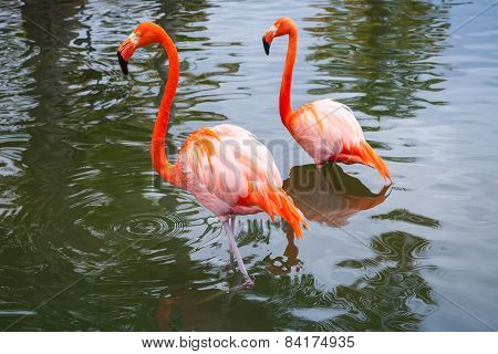 Two Pink Flamingos Walking In Shallow Water