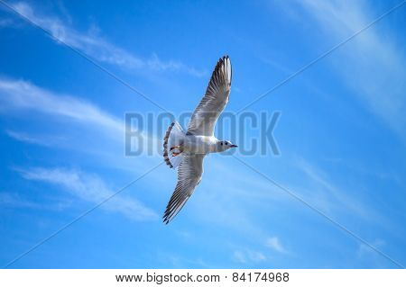 White Seagull Flying On Blue Sky Background With Clouds
