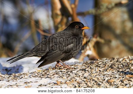 Common Blackbird In The Winter