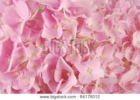 Pink Hydrangea Macrophyllous