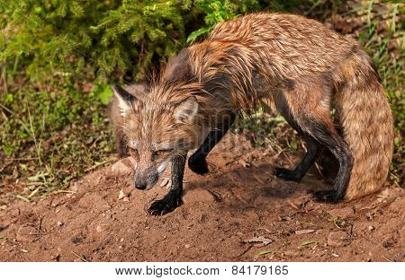 Red Fox Vixen (vulpes Vulpes) Stands Alert At Den