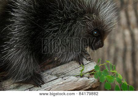 Porcupette (erethizon Dorsatum) Looks At Greenery