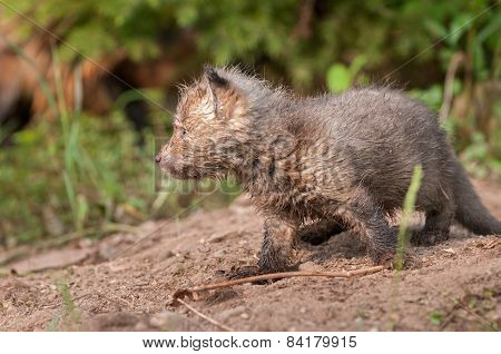 Red Fox Kit (vulpes Vulpes) Side View