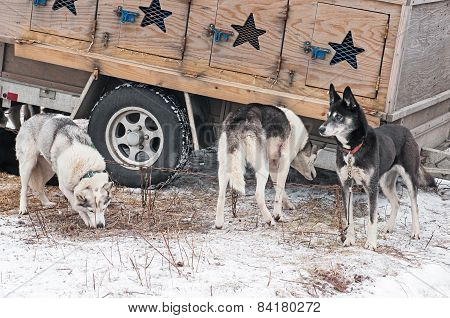 Sled Dogs Stand Near Dog Truck