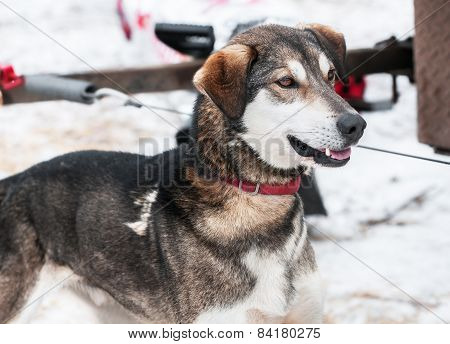 Sled Dog Waits For Race