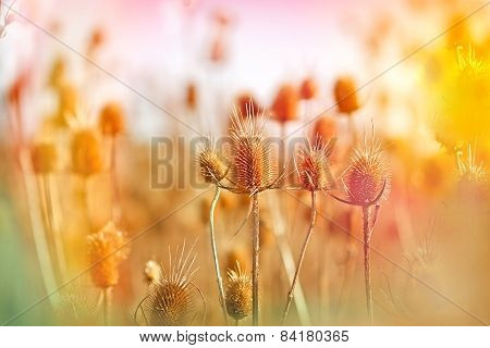 Thistle field - field of dry thistle
