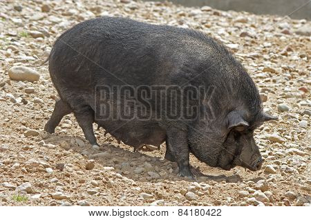 Black Pot-bellied pigs herbivorous