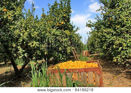Harvest At Lemon Garden