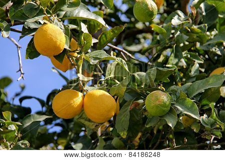 Lemon Tree Branch With Leaves And Fruits On Blue Sky Background
