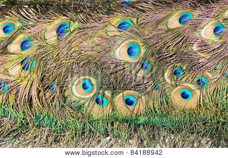 Colorful tail feathers of male peacock