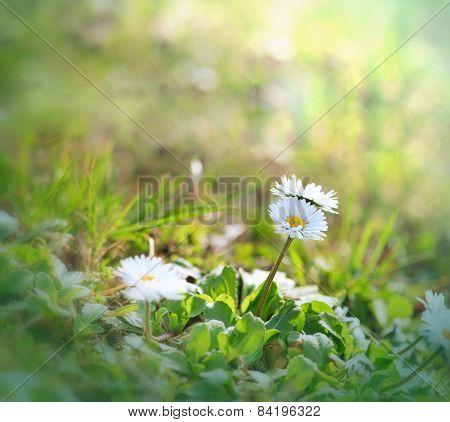 Little daisy flowers