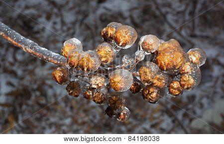 Frozen Crape Myrtle